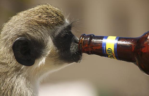 scimmia ubriaca